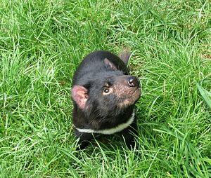 Tasmanian Devil at the Tasmanian Devil Conserv...