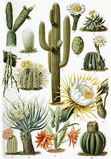 Long Time No See Artinya : artinya, Cactus, Wikipedia