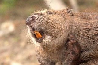 Castor dents-haye