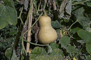"""A butternut squash. Cultivar """"zenith""""..."""