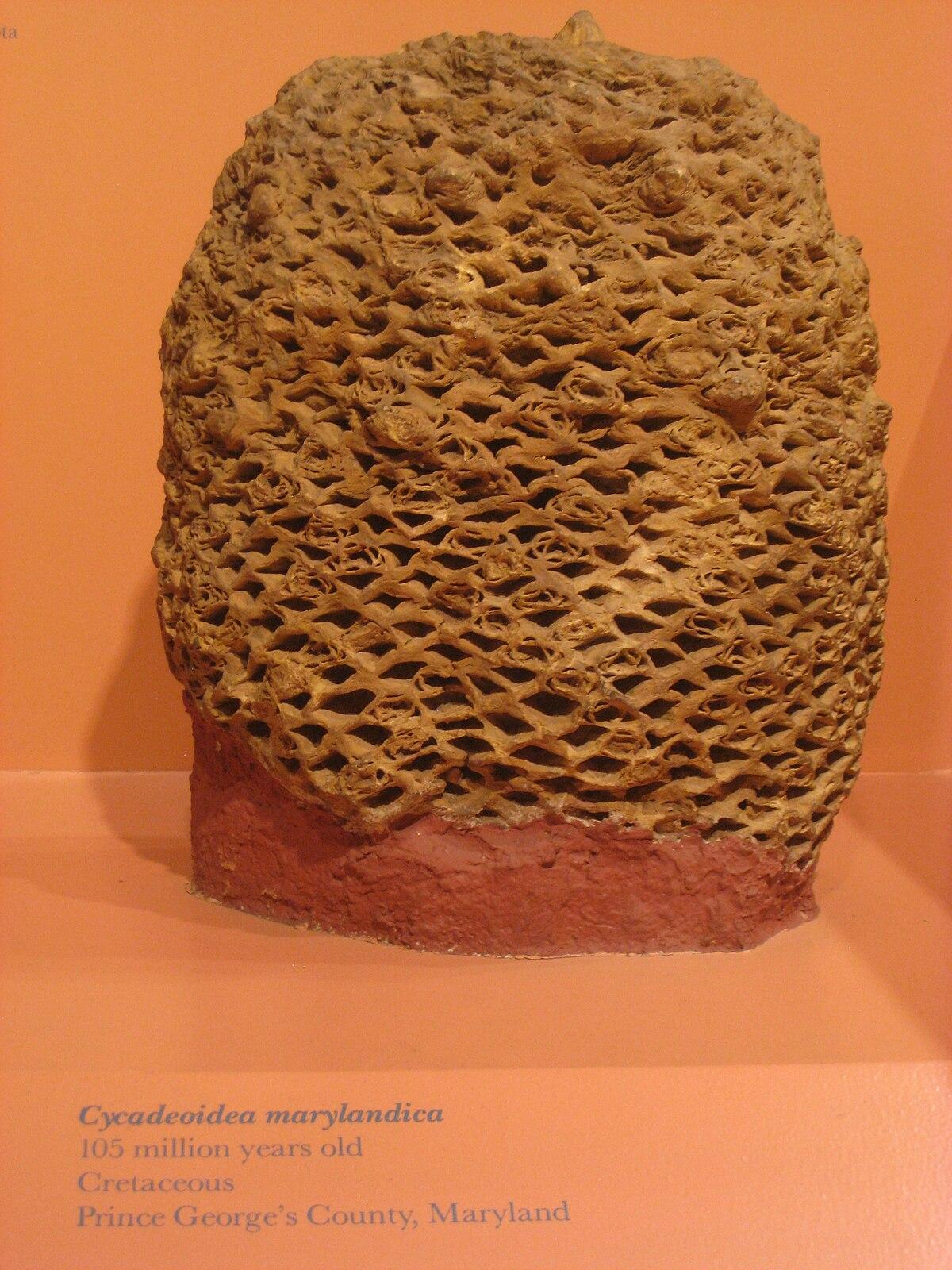 Cycadeoidea  Wikipedia