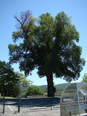 A large English Elm infected with Dutch Elm Di...