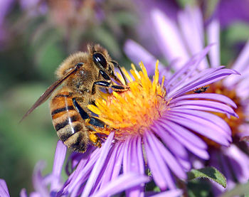 allergisk mot honung