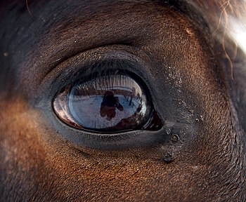English: Eye of horse.