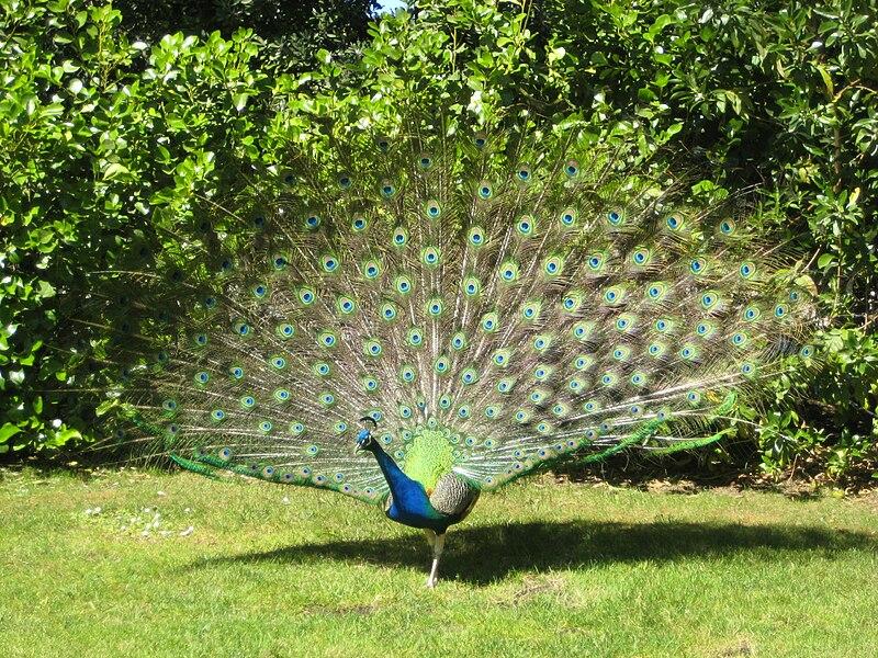 File:Peacock 2.JPG
