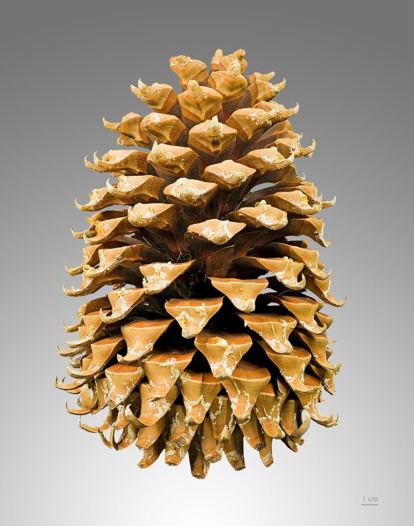 Conifer cone Wikipedia