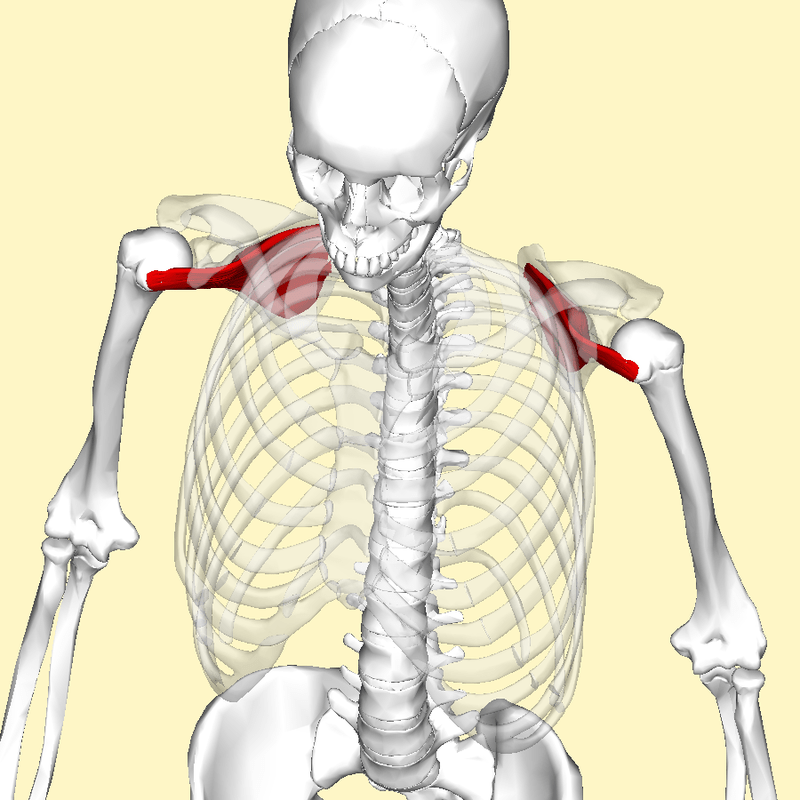 https://i0.wp.com/upload.wikimedia.org/wikipedia/commons/thumb/1/1d/Subscapularis_muscle_top2.png/800px-Subscapularis_muscle_top2.png