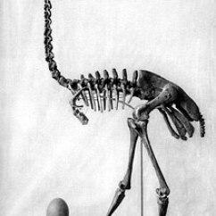 Ostrich Skeleton Diagram Baldor Motor Connection Elephant Bird Wikipedia Aepyornis Maximus And Egg