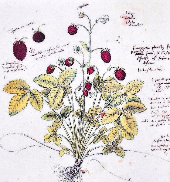 File:Conrad Gesner - Conradi Gesneri Historia plantarum Walderbeere.jpg
