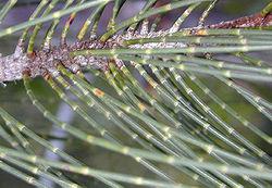 Casuarinaceae  Wikispecies