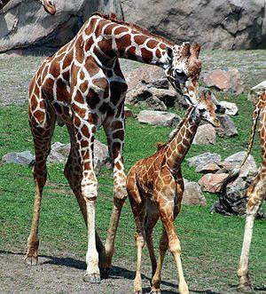 A male (bull) with a baby (calf) giraffe, Gira...