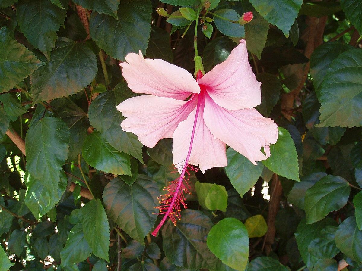 List Of Hibiscus Cultivars Wikipedia