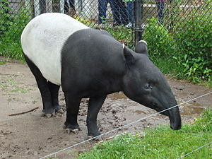 A Malayan tapir (tapirus indicus) in the Toron...