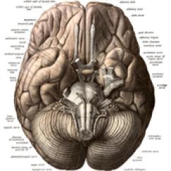 Internal Brain Diagram John Deere 1020 Wiring Human Wikipedia Viewed From Below Showing Cerebellum And Brainstem