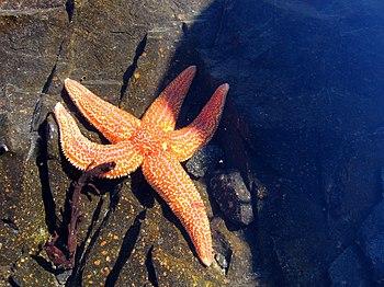 English: Sea star from Kandalaksha Gulf of Whi...