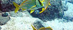 Anisotremus virginicus photo.jpg