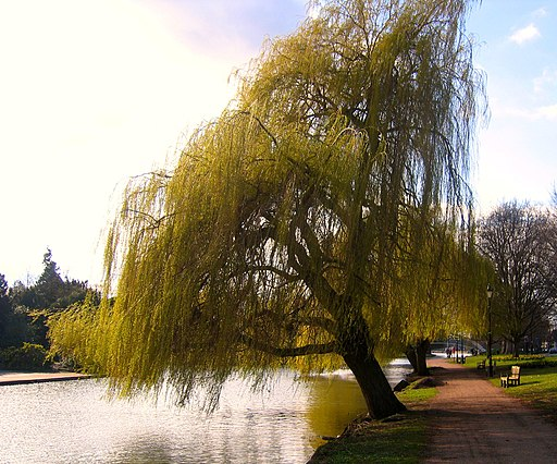 Flickr - ronsaunders47 - The weeping Willow..1