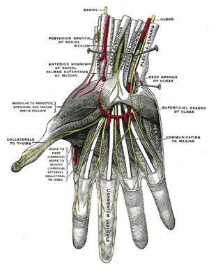 Superficial palmar nerves.