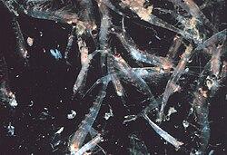 Gambar segerombolan krill, binatang invertebrata laut seperti udang, yang merupakan salah satu makanan pokok Paus Sei.