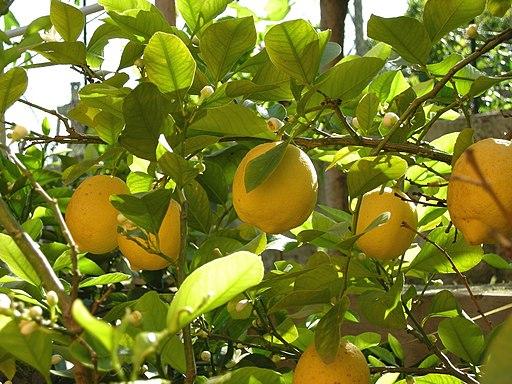 Lemon tree (2452034454)