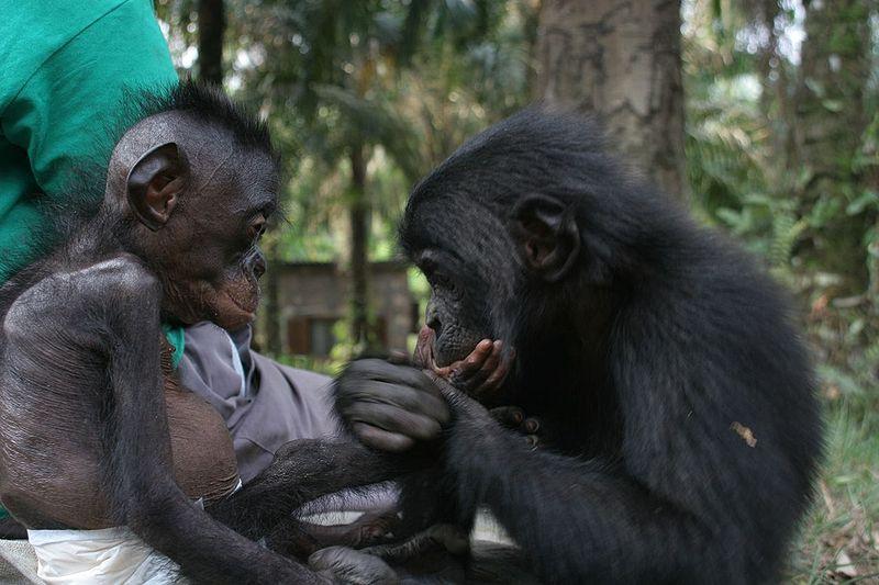 File:Lr new best bonobo pics20.jpg