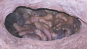 English: Naked mole rats. Cropped version of F...