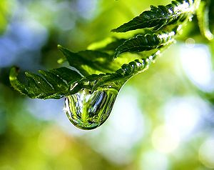 Photo of a raindrop on a fern frond.