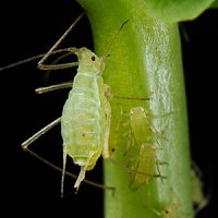 English: Pea aphids extracting sap from the st...