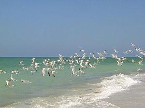 English: A flock of Royal Terns on Upper Capti...