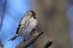 English: Common Redpoll (Carduelis flammea), f...
