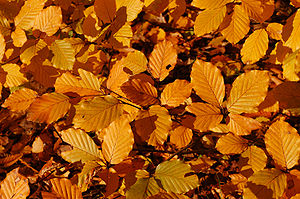 Leaves of the Copper Beechen (Fagus sylvatica)...