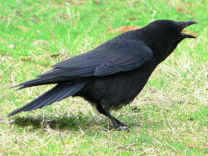American or Northwestern Crow adjacent to the ...