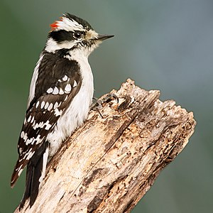 A male Downy Woodpecker, in Poquott, Long Isla...