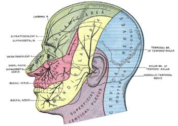 inside skull diagram yamaha g9 golf cart wiring human head wikipedia sensory areas of the showing general distribution three divisions fifth nerve from gray s anatomy 1918
