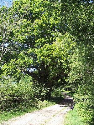 English: Mighty Oak Oak trees border Churchill...