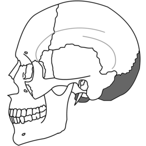 English: The occipital bone and its position. ...