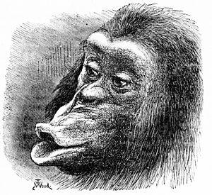 Sulky chimpanzee