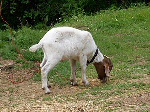 English: Knuckles, the petted billy goat.