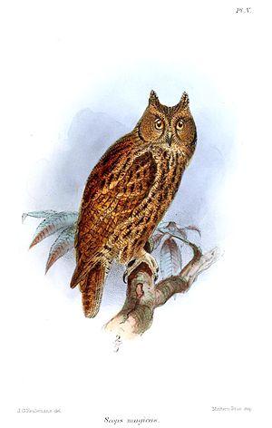 Scops magicus = Otus magicus, Moluccan Scops Owl