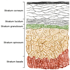 Skin Layers Diagram Labeled Simple Goodman Electric Air Handler Wiring Epidermis Wikipedia Schematic Image Showing A Section Of With Epidermal