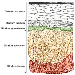 stratified columnar epithelium diagram ethernet jack wiring squamous wikipedia