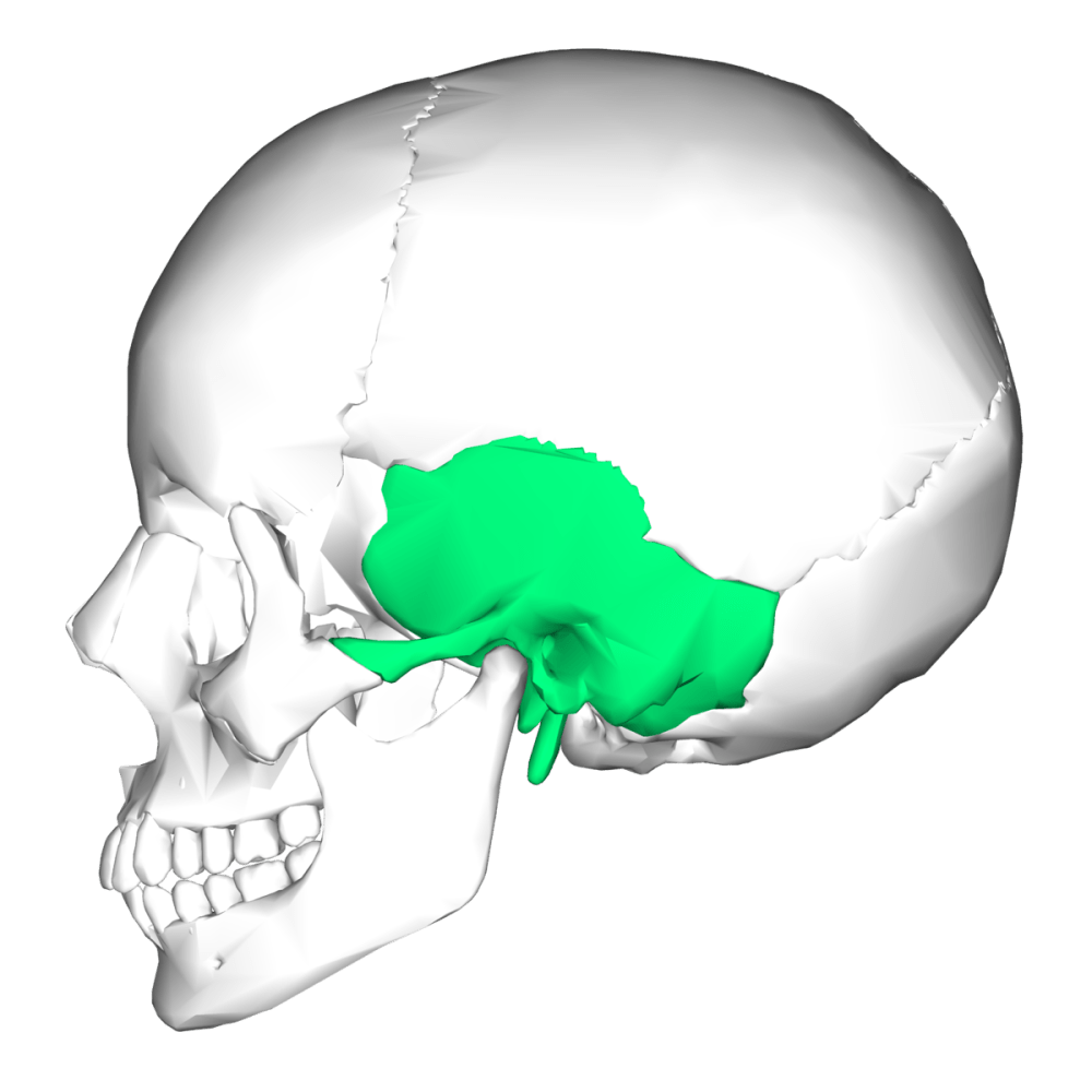 medium resolution of skull skeleton diagram