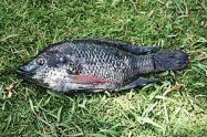 English: Introduced fish from a lake in , . Id...