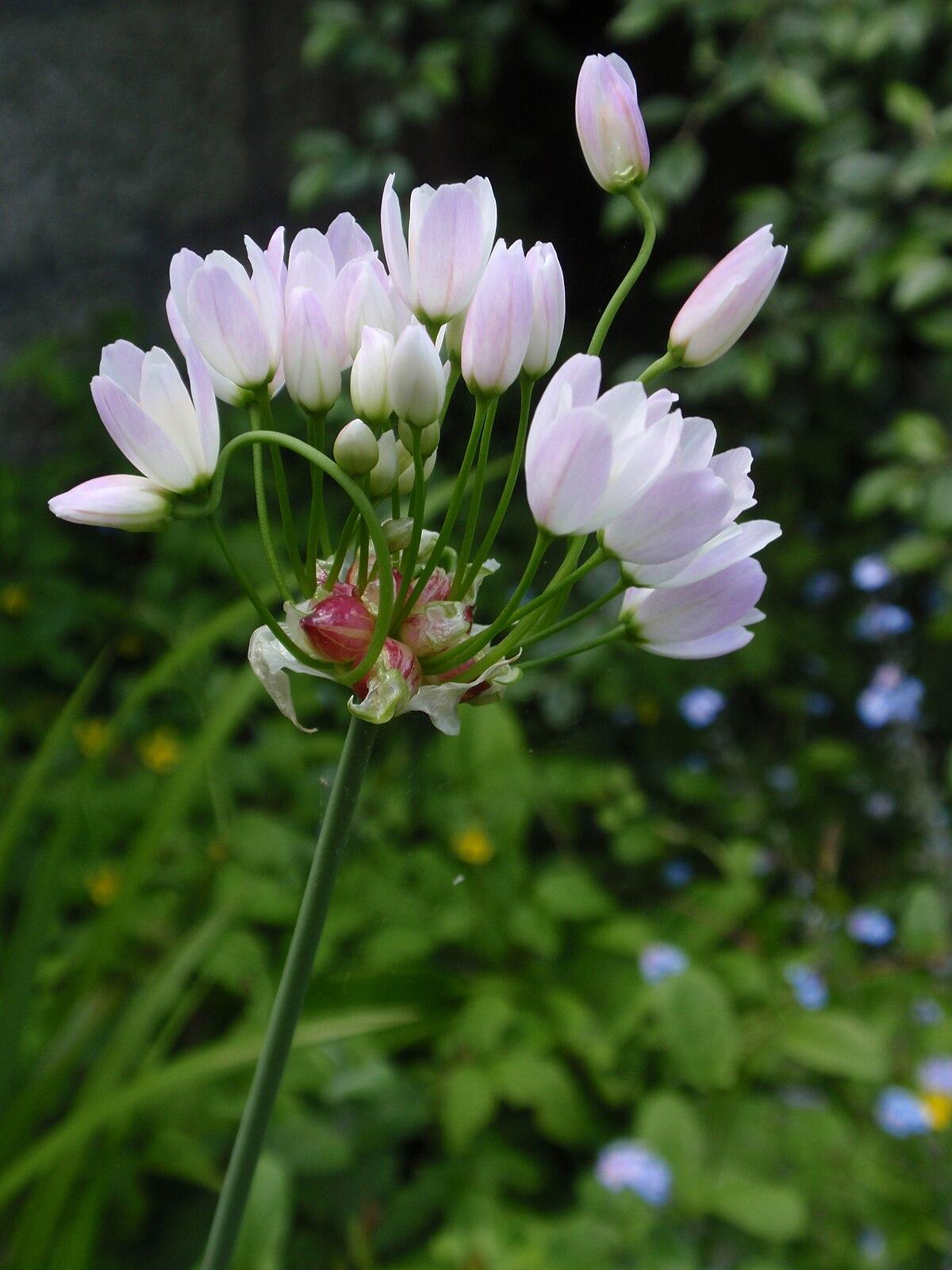 Allium Roseum Wikipedia