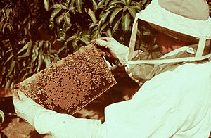 English: A beekeeper with a brood comb. עברית:...