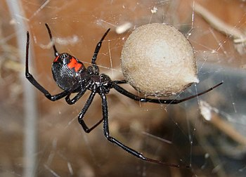 Female black widow spider guarding an egg case...