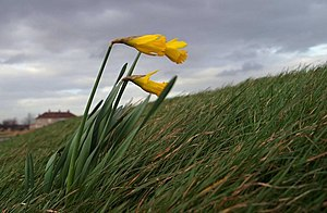 English: Blowing in the wind Lonely daffodils ...