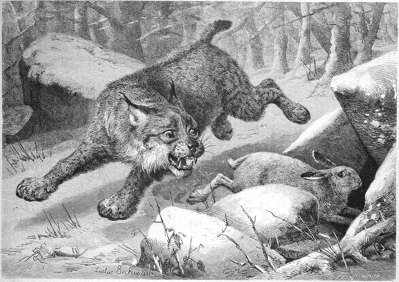A drawing of a bobcat chasing a bunny. The bunny is diving into a hole between two rocks and looking behind it with fear.
