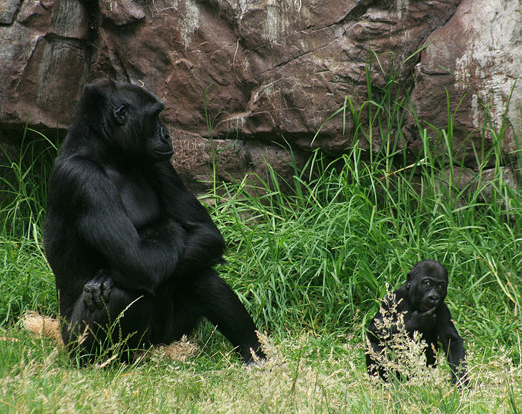 File:Female gorilla with 8 months old baby boy gorilla in SF zoo.jpg