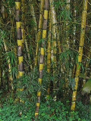 Giant Bamboo in Ecuador